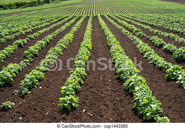 Líneas de verduras verdes en una granja. - csp1443365
