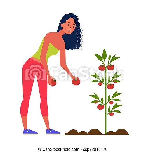 Mujer granjero cosechando tomate. Cosecha orgánica fresca - csp72018170