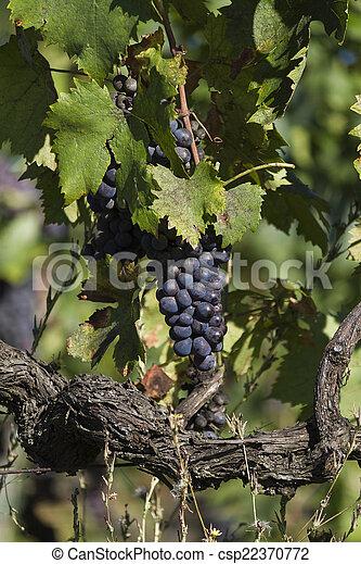 grape and vineyard - csp22370772