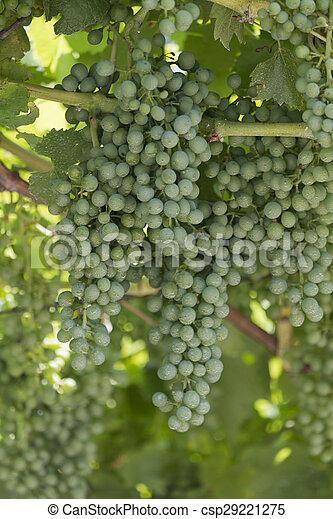 grape and vineyard - csp29221275
