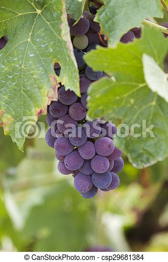 grape and vineyard - csp29681384