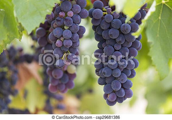 grape and vineyard - csp29681386