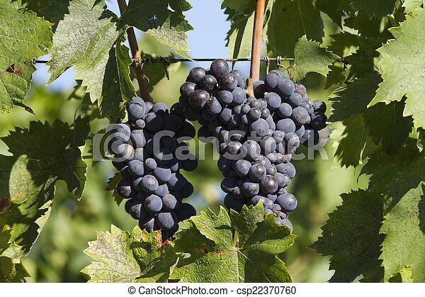 grape and vineyard - csp22370760