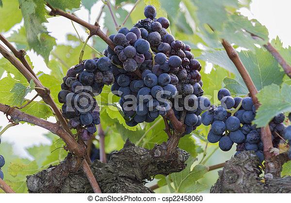grape and vineyard - csp22458060