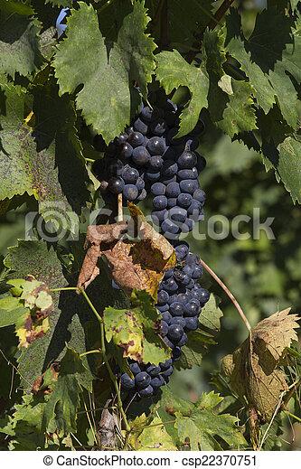 grape and vineyard - csp22370751