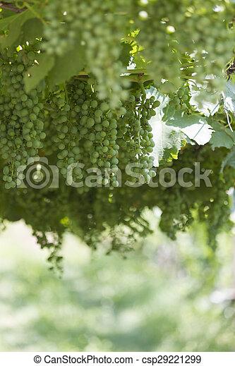 grape and vineyard - csp29221299