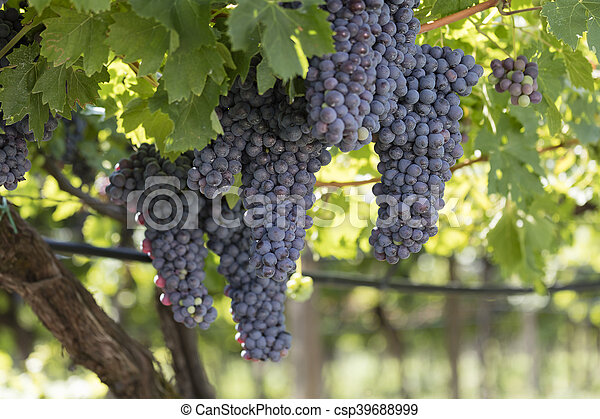 grape and vineyard - csp39688999