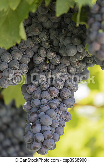 grape and vineyard - csp39689001