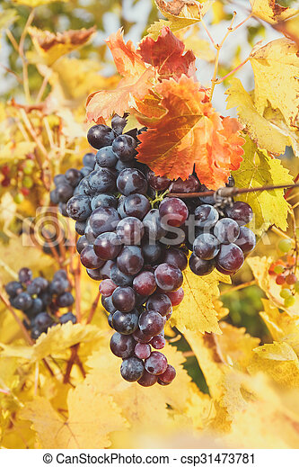 Grape bunches hanging from vine - csp31473781