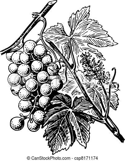 Grape - csp8171174