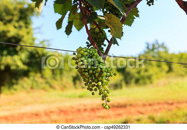 Grape harvest, Istria - csp49262331