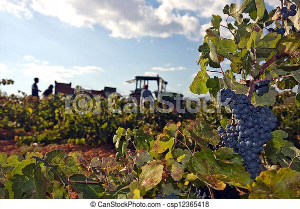 grape harvest - csp12365418