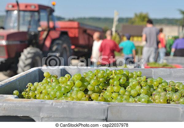 grape harvest - csp22037978