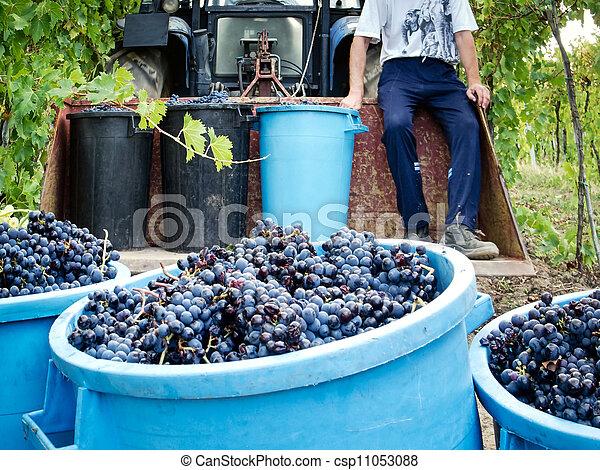 grape harvest - csp11053088
