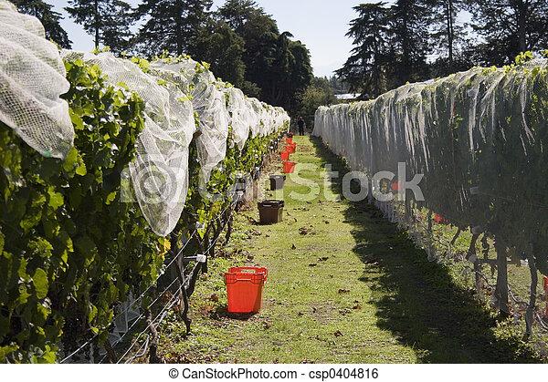 Grape Harvest - csp0404816
