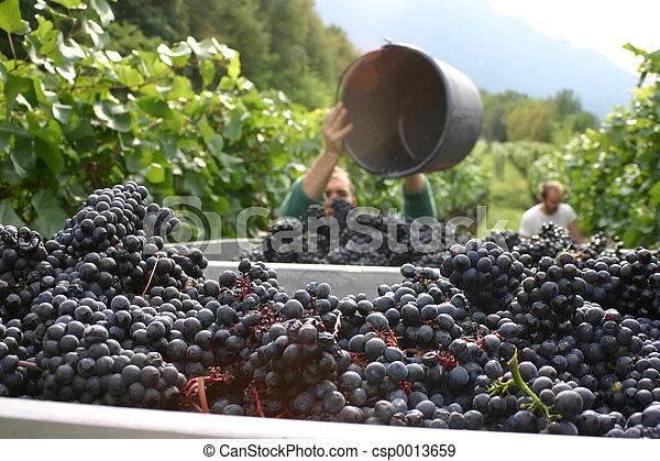 grape harvest - csp0013659
