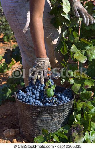 grape harvest - csp12365335