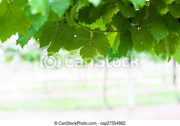 grape leaf in soft light - csp27354862