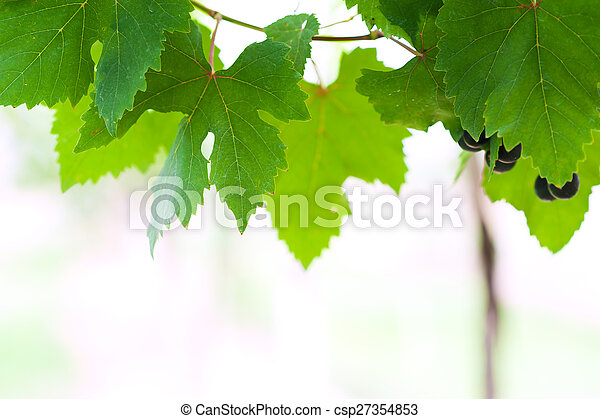 grape leaf in soft light - csp27354853