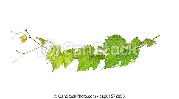Grape leaf isolated on white background. - csp81572056