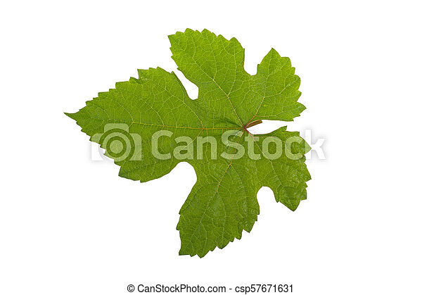 grape leaf isolated on white background - csp57671631