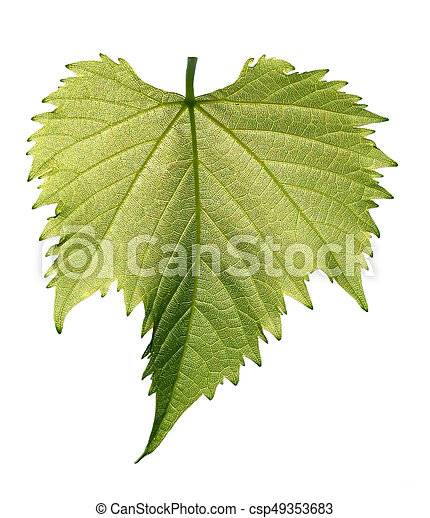 Grape leaf on white background - csp49353683