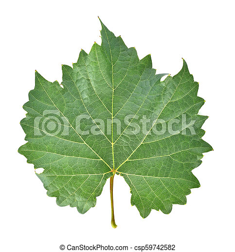grape leaf on white background. - csp59742582