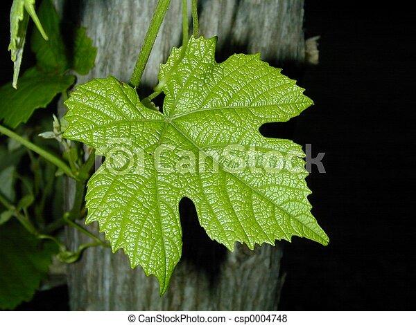 Grape Leaf - csp0004748