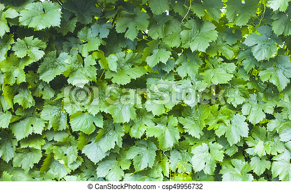 Grape Leaves Background Vineyard Pattern Nature Texture Canstock