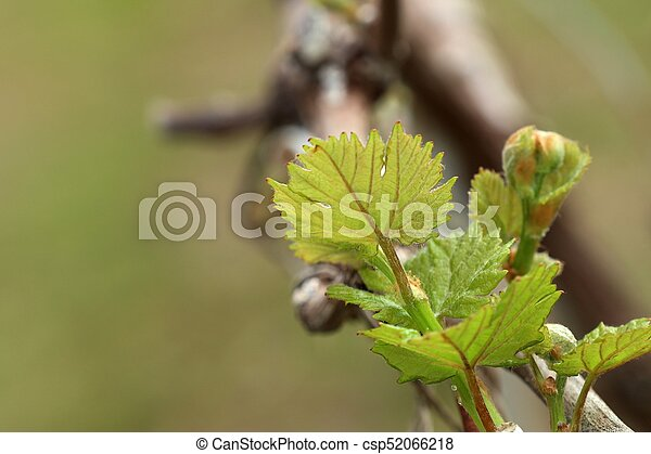 Grape leaves new sprouting - csp52066218