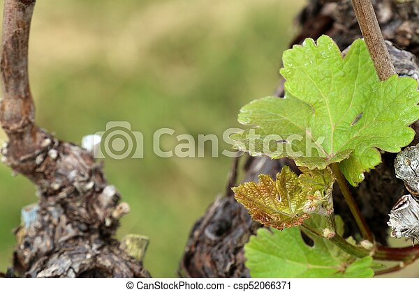 Grape leaves new sprouting - csp52066371
