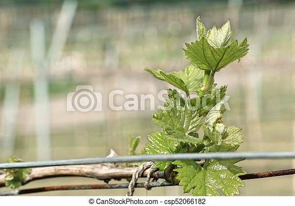 Grape leaves new sprouting - csp52066182