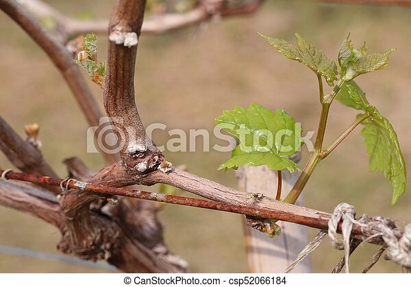 Grape leaves new sprouting - csp52066184