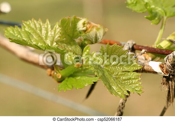 Grape leaves new sprouting - csp52066187