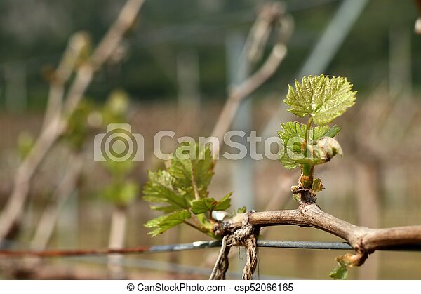 Grape leaves new sprouting - csp52066165