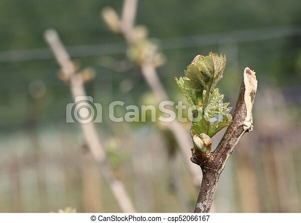 Grape leaves new sprouting - csp52066167