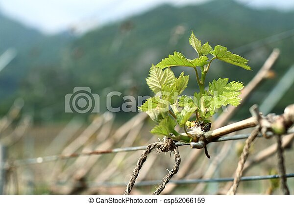 Grape leaves new sprouting - csp52066159
