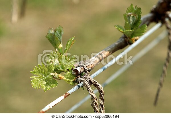Grape leaves new sprouting - csp52066194