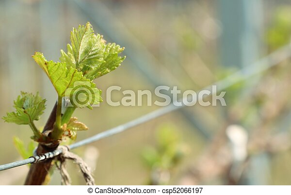 Grape leaves new sprouting - csp52066197