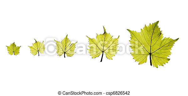 Grape leaves - csp6826542