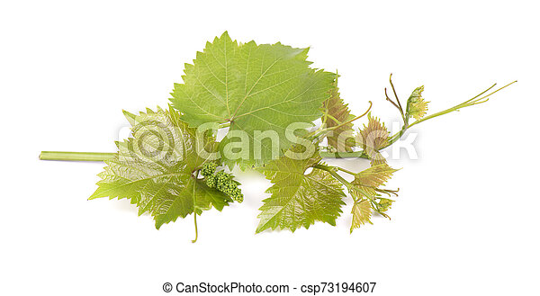 Grape Leaves Vine Branch With Tendrils Isolated On White Background Clipping Path Included Green Branch Of Grape Vine Canstock