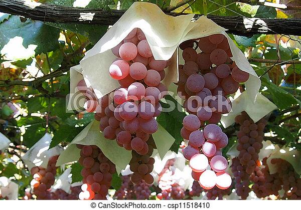 grape - csp11518410