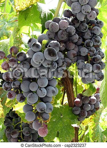 grape - csp2323237
