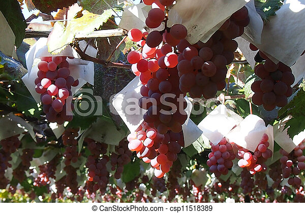 grape - csp11518389