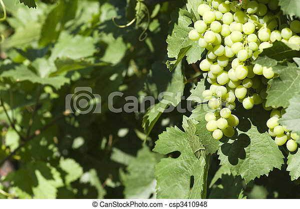 grape - csp3410948