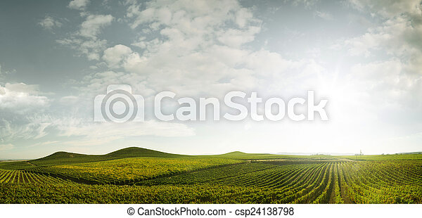 grape rows - csp24138798