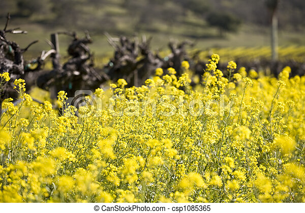 Grape Vines and Mustard Flowers, Napa Valley - csp1085365