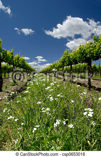 Grape vines and white flowers spring green california grape vines grape vines and white flowers csp0653016 mightylinksfo