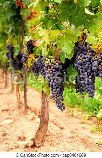 Grape vines - csp0404689