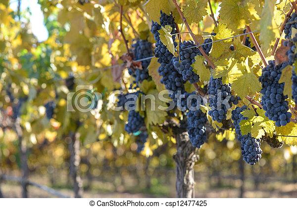 Grape Vineyard in Autumn - csp12477425